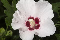 White rose of sharon flower in South Windsor, Connecticut. Royalty Free Stock Photo