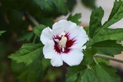 White Rose of Sharon in the Garden. White Rose of Sharon Shrub in the Garden Stock Image
