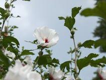 White Rose of Sharon Shrub in a Garden. White Rose of Sharon Shrub in the Garden Royalty Free Stock Image