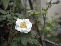 White Rose. Single white rose in the garden Stock Images