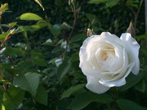 White Rose. Snow White Rose Royalty Free Stock Photo