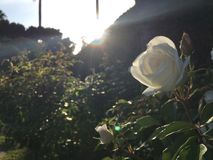 White Rose. Snow White Rose Royalty Free Stock Image