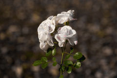 White Rose. With a soft background Royalty Free Stock Images