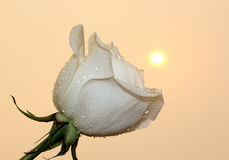 White Rose. A soft white rose with the fiery sun in the glowing background stock photography