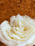 White rose. With soft yellow heart closeup royalty free stock photos
