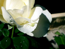 White rose with a spider. In a garden Royalty Free Stock Photography