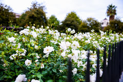 White rose with steel fence Stock Photo