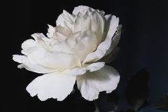 White Rose in Studio stock photography