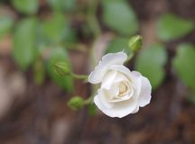 White rose and buds Stock Image