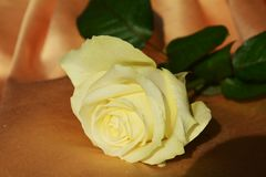 White rose, symbol of purity. And sincerity, making great contrast with the darker background Royalty Free Stock Image