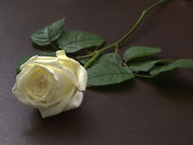 White Rose on the table. A white rose flower on a brown table Stock Photography