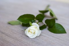 White rose on the table, cream rose, vignette royalty free stock photos