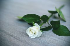 White rose on the table, cream rose, vignette royalty free stock images