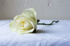 White rose on table Stock Photo