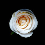 White Rose . Royalty Free Stock Photography