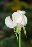 White Rose with tiny green insects Stock Photography