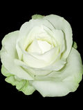 White rose towards black Royalty Free Stock Image
