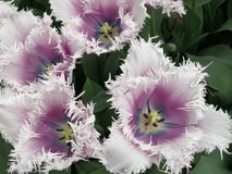 White and violet tulips stock photography