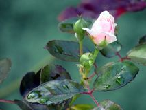 White Rose. The white rose is a type of rose, also known as rose, shrub pink or cut rose Royalty Free Stock Photo