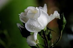 White rose. Under the rain Royalty Free Stock Images