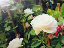 White rose. For Valentine& x27;s days, natural royalty free stock photo