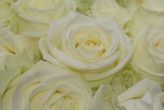 White rose. Very clean white rose flower in a bunch at a florist Stock Photography