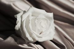 White rose in vintage hues, close up Royalty Free Stock Images