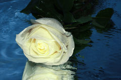 White rose on a water Stock Image
