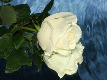 White rose on a water Royalty Free Stock Images