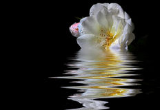 White rose in water Royalty Free Stock Image