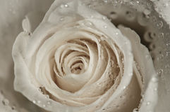 White rose with water droplets Royalty Free Stock Image