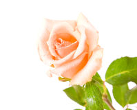 White rose with water drops Royalty Free Stock Image