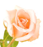 White rose with water drops isolated Stock Images