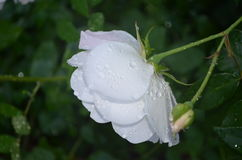 White rose. With water drops after the rain stock photo