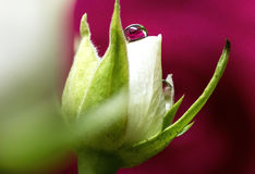 White Rose with Waterdrop Refraction Royalty Free Stock Photos