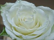 White rose. Waterdrops royalty free stock photos