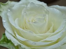 White rose. With waterdrops stock photos