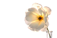 White Rose On White royalty free stock photos