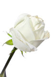 White rose on a white background Stock Images