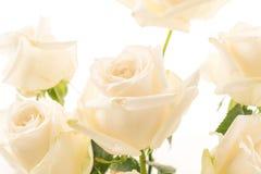 White rose on white. Background Stock Image