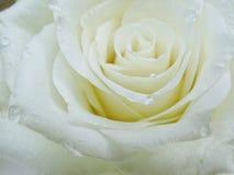 White rose. Detail stock photos