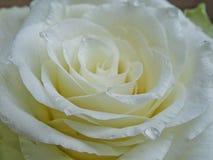 White rose. Detail closeup royalty free stock photo
