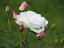 White rose. In the Pavlovsk Park Stock Photos