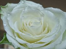 White rose. With waterdrops royalty free stock photo