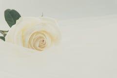 White rose on white veil Stock Photos