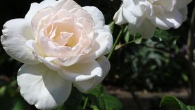 White rose in the wind. Large white delicate floribunda rose with a creamy touch in the centre called Helga in full bloom in the garden and moving with the wind stock video footage