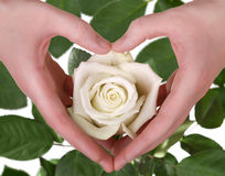 The white rose in woman hand Royalty Free Stock Photos