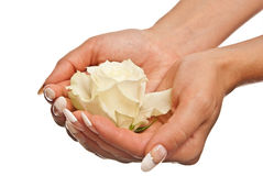 White rose in woman's hands Stock Photos