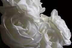 White roses Stock Photo