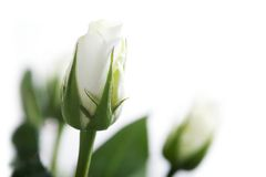 White roses stock images